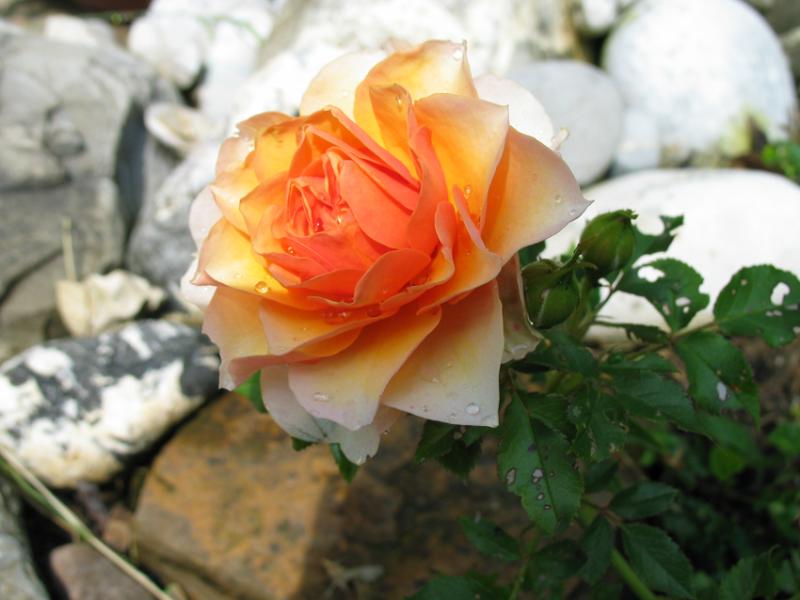rose_gelb